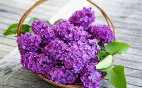 lilaca
